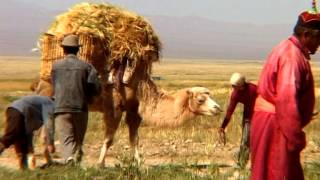 Traditional barley planting in Gobi Altai aimag
