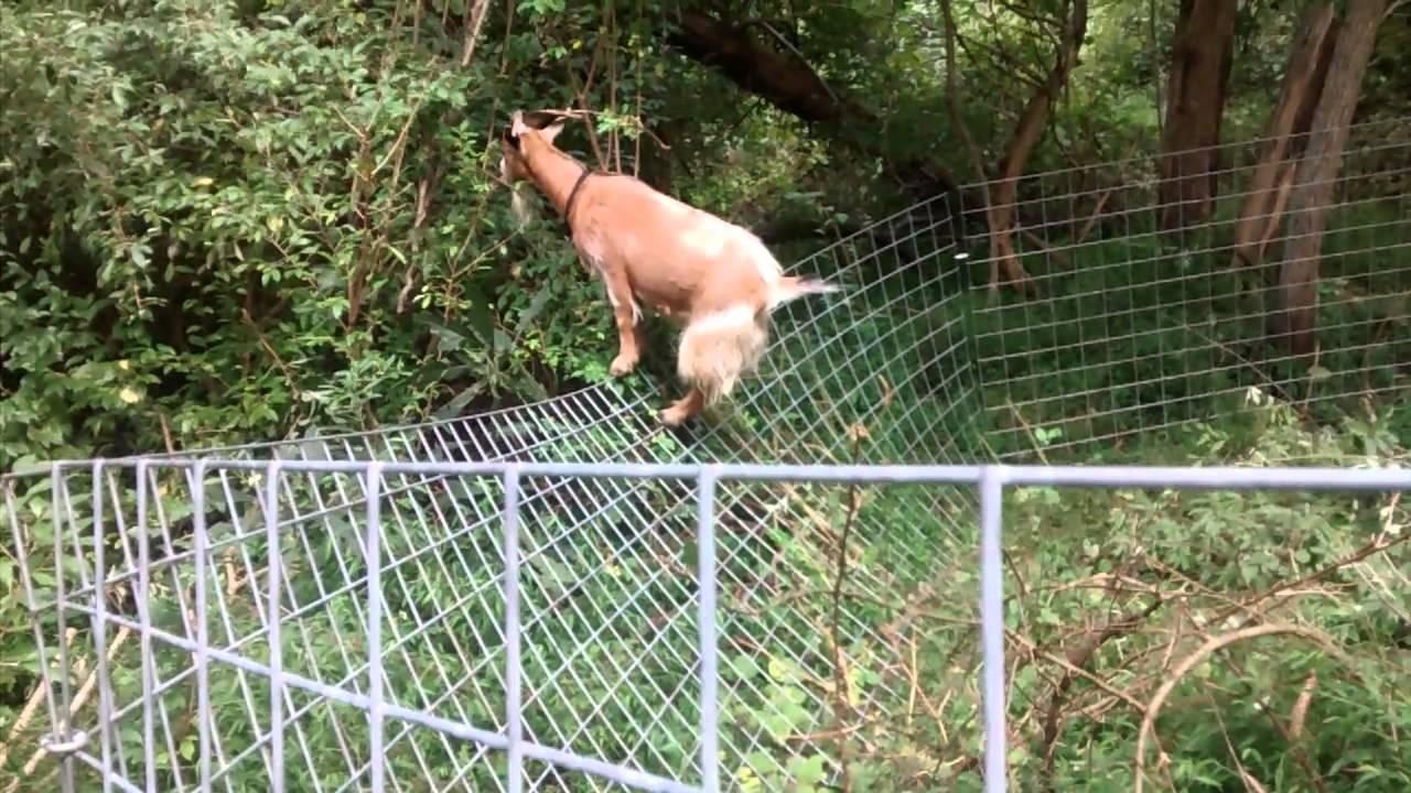 Goat wins over goat panel fencing - YouTube