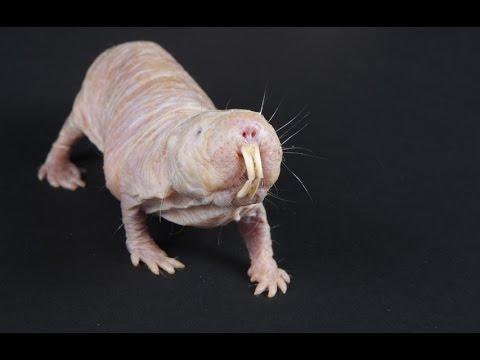 Resultado de imagen para rata topo desnuda