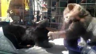 Котёнок нападает на собаку / маленький котёнок против собаки /  детские забавы шотландских котят