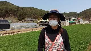 귀농 박서빈 대표 새싹 보리밭 (영덕군 창수면 인량리에…