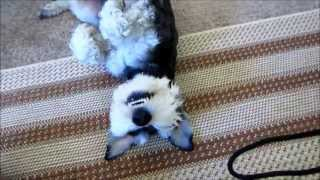 Cute Mini Schnauzer Wants Tummy Rubs!