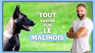Infos race de chien Malinois : caractère, éducation, comportement, santé du chien de race Malinois