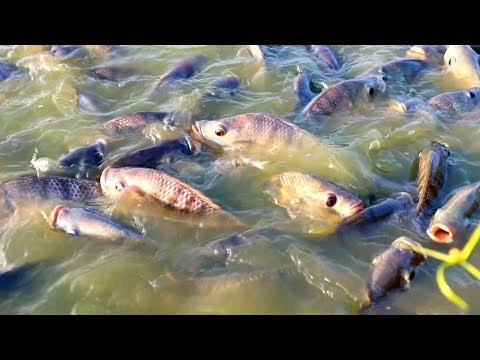 Culture Management Of Monosex Tilapia ||Tilapia Fish Feeding In Fish Farm || Indian Fish Farm Part5