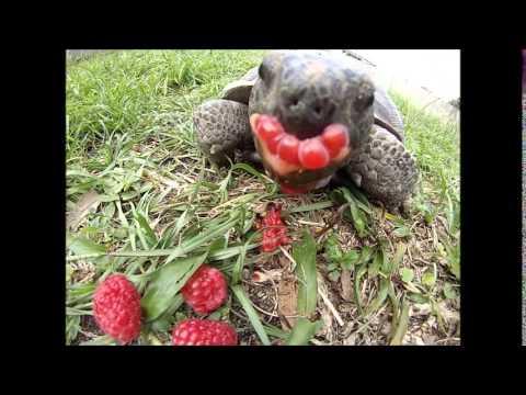 My Backyard Turtle Eating Raspberries Gopro Youtube