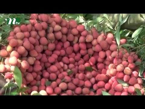 Less production of Lychi in meherpur | News & Current Affairs