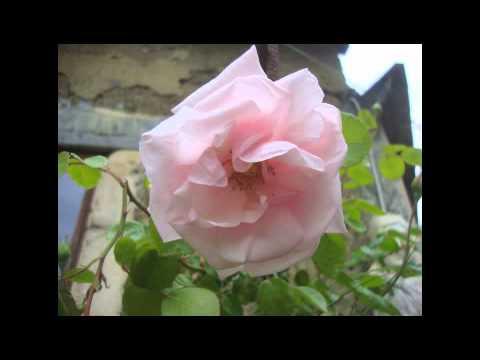 "Gabriel Fauré - ""La Rose"" - Massimo Crispi"