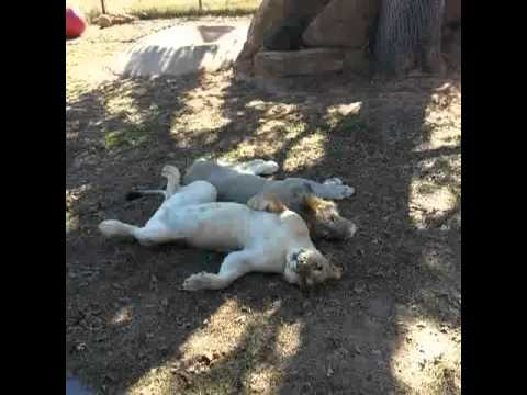 Noel turned on the cute, had to Vine it. #lion #myhandwasforced…