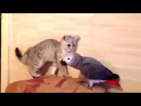 Попугай и кошка. Видео про кошек, смешное до слез