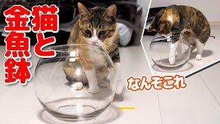 ビビリ&ガサツな猫姉妹に金魚鉢を見せた時の反応がかわいかった thumbnail