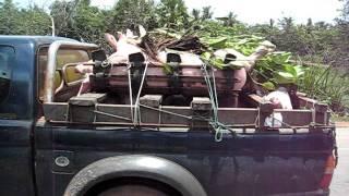 Transport de porcs au Cambodge.AVI