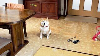 おすわりという名の圧力で散歩を強制してくる柴犬