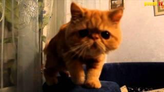 Шарик шоу - Death Metal (cat)