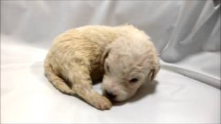 ビションフリーゼ専門店 http://aidol-doggy.com/furi-ze/ ブリーダーの...