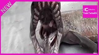 VIDEO. Un requin-lézard préhistorique capturé au large du Portugal