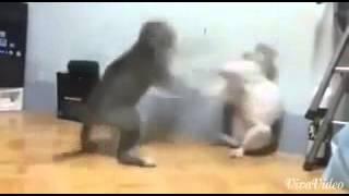 Gatos brigando e burro rindo