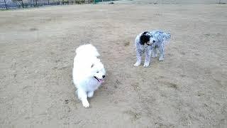ドッグランで大型犬と遊ぶオリバー。一緒にいるだけで興奮気味。走るの...