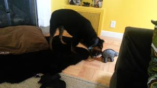 Indesisive Rottweiler Swinging Her Toys Around