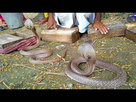 Amazing Performance Of Snake-Charmer With Dangerous King Cobra | Real Snake Game