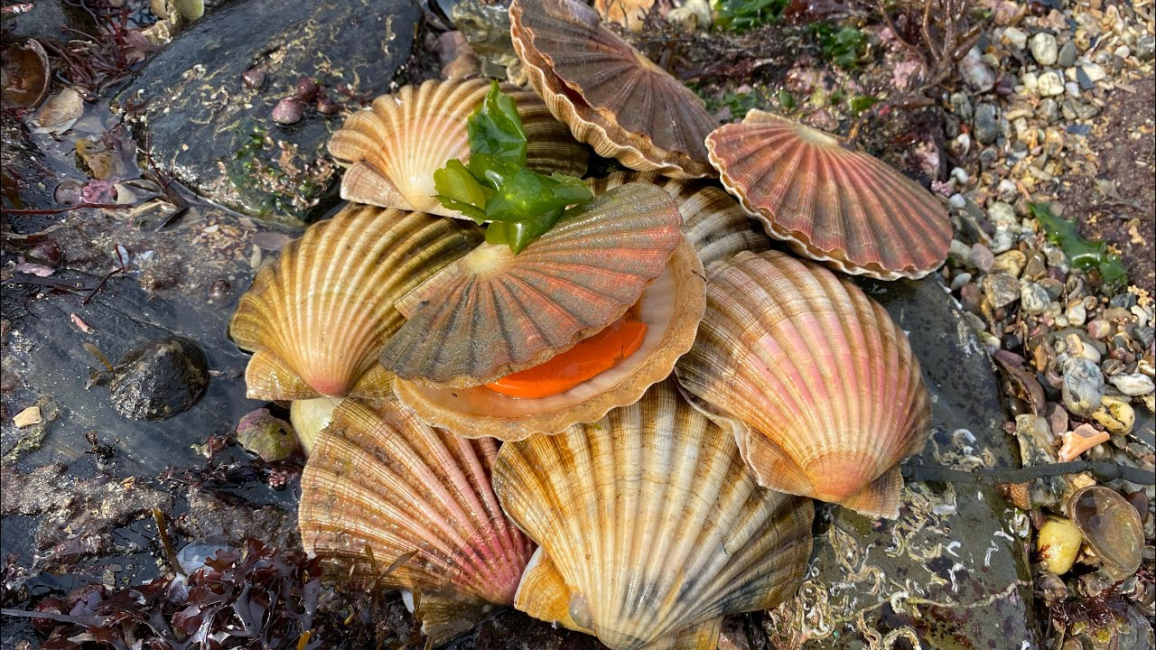 Coastal Foraging for Scallops - Cockles, Clams and Crabs - Delicious Beach Cook up