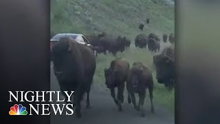 Family Driving Through Yellowstone Caught In Bison Stampede | NBC Nightly News