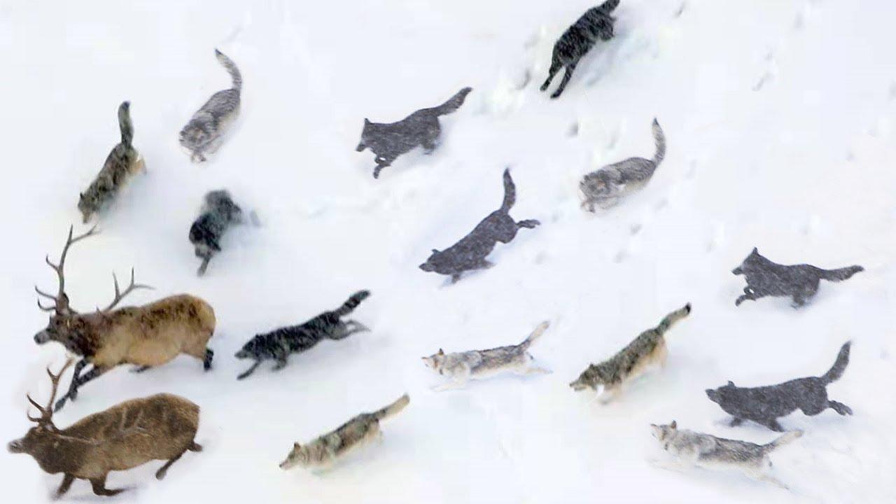 Самая большая стая волков в мире! Друиды – потомки канадских волков.