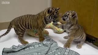 米ワシントンのスミソニアン国立動物園で生まれた絶滅危惧種のスマトラ...