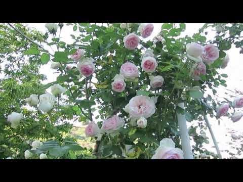 Pierre de Ronsard rose in my garden