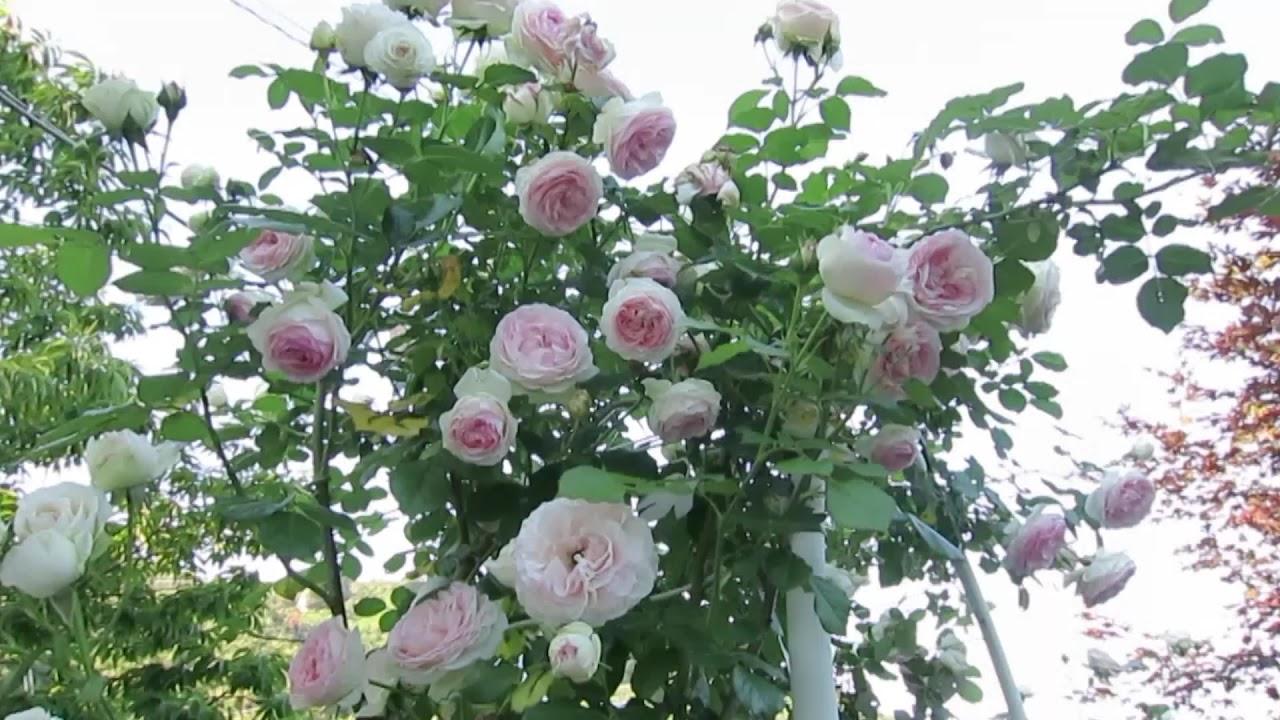Pierre de ronsard rose in my garden youtube for Pierre de ronsard rosa