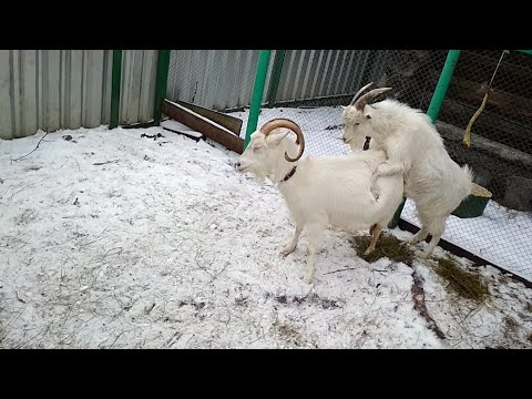 Сведение коз. Как Козёл кроет козу. Спаривание коз.