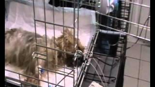 Переливание крови собаке