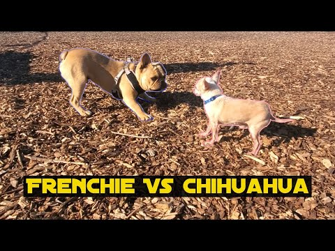 French Bulldog vs Chihuahua (Socializing Da Rat)