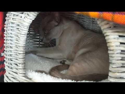 A kneading Tonkinese Cat...ahhh