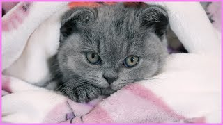 ✅ First Bath for Baby Kitten! How to Wash a Kitten Without Making it too Scared! British Shorthair