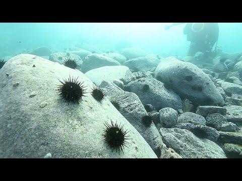 被災地の藻場、ウニ大発生 進む「磯焼け」、再生なるか - YouTube