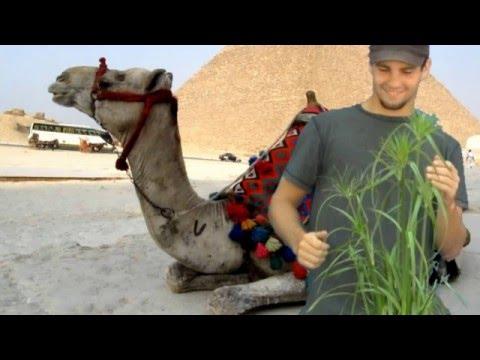 #Egyptian Papyrus Grass Plant* +Cyperus papyrus+Nile ALT+
