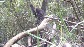 Lyrebird Imitating many birds in Sherbrooke Forest