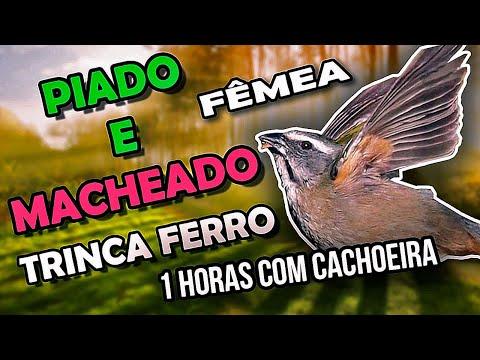 Piado e Macheado de Trinca Ferro Fêmea com Cachoeira para esquentar macho PássaroseCantos