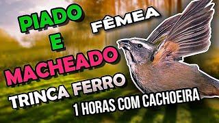 Piado e Macheado de Trinca Ferro Fêmea com Cachoeira para esquentar macho #PássaroseCantosOficial
