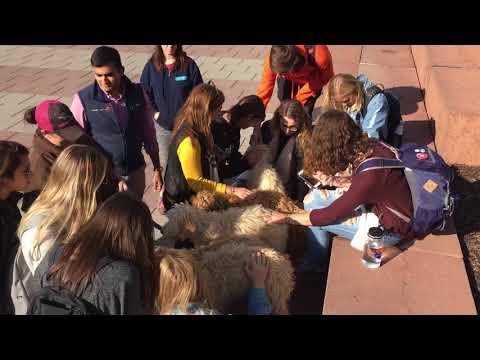Labradoodles at Syracuse University