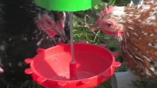 Chicken On Peckomatic Bird Feeder
