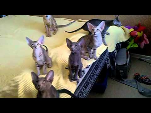 Oriental kittens in cattery Jubatus - litter T.mp4