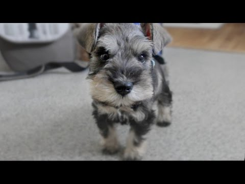 Cute Mini Schnauzer Puppy Comes Home - ChumpieTheDog