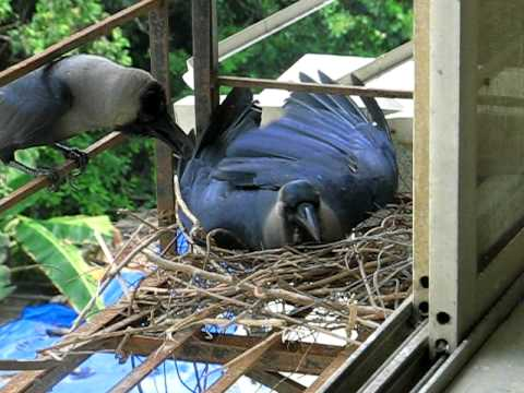 Intelligent crow building nest and testing its comfort