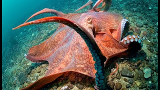 Meet the largest octopus in the world | Oceana