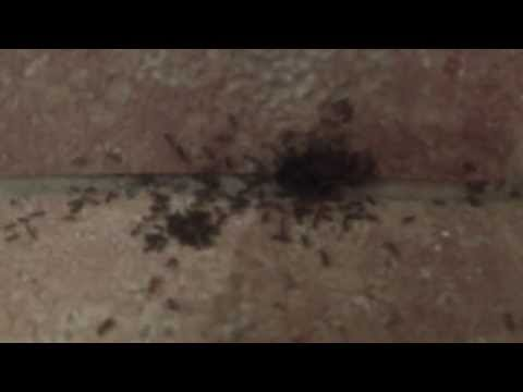 Peppermint Oil as Natural Ant Repellent experiment.