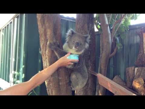 A Wild Koala In The Backyard