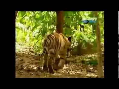 Behavioral Adaptations of a Tiger The Tigers Behavioral