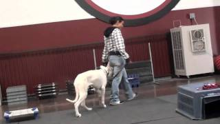 Pet Behavior Training - White German Shepherd