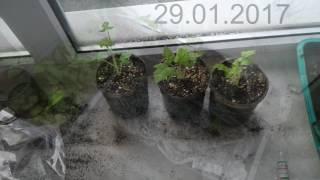 зеленое черенкование зимой 2